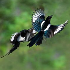 Magpies from the same family as Crows and Ravens