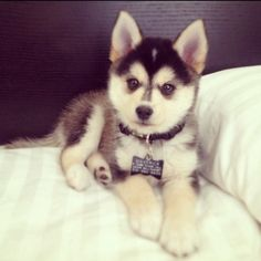 """This pin was labelled """"a full grown pomsky."""" THIS IS A HUSKY OR MALAMUTE PUPPY. This is not an adult dog. BUT if you are in love with these """"pomsky"""" pics, check out the Alaskan Klee Kai! It might just be the right dog for you! Teacup Pomeranian Husky, Pomsky Puppies, Cute Puppies, Cute Dogs, Dogs And Puppies, Doggies, Puppys, Pomeranians, Huskies Puppies"""