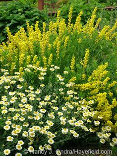 Baptisia sphaerocarpa 'Screamin' Yellow' with Anthemis 'Susanna Mitchell'; Nancy J. Ondra at Hayefield