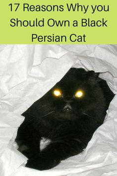 Here are the reasons that will convince you to adopt a black Persian cat. #blackpersiancat#persiancat#blackpersiankittten#persiankitten#lovepersiancats Black Cat Breeds, Persian Cats, Kittens, Adoption, Pets, Animals, Animaux, Animales, Persian