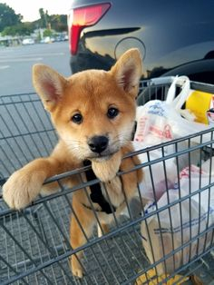 Do you love Shiba Inu? Cute Baby Animals, Animals And Pets, Funny Animals, Cute Puppies, Cute Dogs, Dogs And Puppies, Doggies, Silly Dogs, Fun Dog