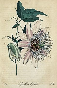 passiflora hybrida - high resolution image from old book. Vintage Illustration Art, Illustration Sketches, Illustrations And Posters, Botanical Illustration, Vine Drawing, Floral Drawing, Plant Drawing, Botanical Flowers, Botanical Prints
