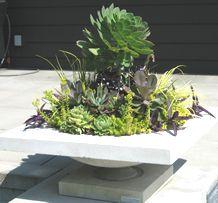 Her Selected Plants:  1. Sedum 'Angelina' and 'Ogon' | Stonecrop  2. Echeveria 'Topsy Turvy', agavifolium, 'Doris Taylor', 'Morning Light'   and Pachyveria 'Moonglow' | Mexican Hens and Chicks  3. Aeonium arboreum and 'Zwartkop' | Aeonium  4. Acorus gramineus 'Ogon' | Sweet Flag  5. Setcreasea pallida 'Purple Heart' | Purple Heart Wandering Jew    Phoenix Perennials - Great Plant Combinations Contest 2006