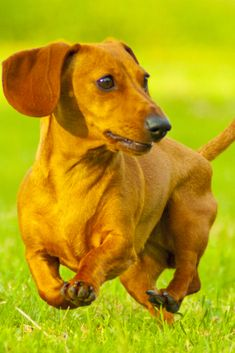 "Visit our web site for even more information on ""dachshund puppies"". It is actually a superb area for more information. Black Lab Puppies, Dachshund Puppies, Weiner Dogs, Dachshund Clothes, Dachshund Gifts, Black Labrador, Black Labs, Dog Grooming Business, Animal Crackers"