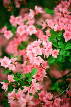 Azaleas - the lastest edition to my Beverley Hills Cottage inspired garden!