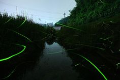 Firefly Pictures, Photos, Firefly Images and Videos of Fireflies and Lightning Bugs