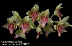 Catasetum spitzii. - Flickr - Photo Sharing!