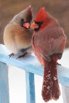 Art photography of a male and female cardinal in winter.