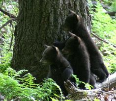 The American Black Bear.three little black bear cubs. West Virginia wildlife at its best. Bear Pictures, Cute Pictures, Bear Cubs, Grizzly Bears, West Virginia History, Black Bear Cub, American Black Bear, Love Bear, Brown Bear