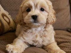 Here is our litter of cockapoo puppies we have 2 apricot girls and 1 apricot boy these are three little bundles of joy each one a character of ther. Toy Cockapoo, Cockapoo Puppies For Sale, Cocker Spaniel Puppies, Goldendoodle, Little Puppies, Baby Puppies, Little Dogs, Dogs And Puppies, Really Cute Puppies