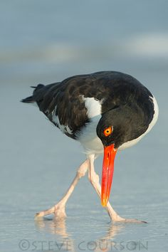 American Oystercatcher (Haematopus palliatus), occasionally called the American Pied Oystercatcher - a member of family Haematopodidae. The bird is marked by its black and white body and a long, thick orange beak. This shorebird is approximately 19 inches (42 – 52 cm) in length.