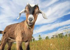Raising Goats for Fun and Profit