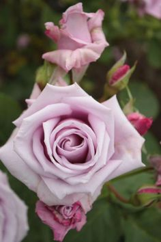 Hybrid Tea Rose: Rosa 'Blue Chateau' (Japan, 1999)