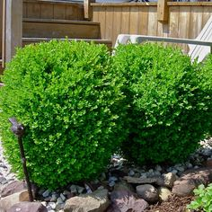 Plant | Boxwood, Winter Gem