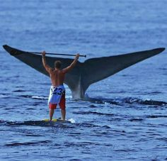 Whale tail trailing in the water right in front of a man on his surf board! Sup Stand Up Paddle, Sup Paddle, Kite Surf, Sup Surf, Wow Photo, No Wave, Sup Yoga, All Nature, Whale Watching
