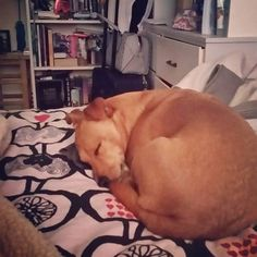 Hooman says I snore #dogsofinstagram #dogstagram #doggyworld #doglife #rescuedog #petsofinsta #jackrussellterrier #dachshund #instadog #terrierlife #jackrussellsofinstagram #muttsofinstagram #rescuenation #doglovers #ootd #dawg #insta #selfie #dogsoftheyear #littledog #mutt #smalldogs #cutedogs #doggy #dogsaremytherapy #dogobsessed #petoftheday #dogtag #weelife #followme  Photo By: tobi_jackrussell