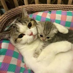 Nothing like a Mama and her lil one. .....True love http://www.mainecoonguide.com/fun-facts-maine-coon-cats/