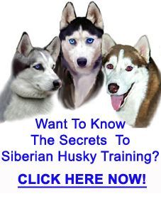Siberian Husky Training How To Train Siberian Huskys