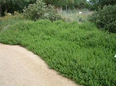 GROUNDCOVER: Baccharis pilularis 'Pigeon Point' dwarf coyote bush evergreen perennial x -full sun