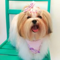 Pet Shop, Shih Tzu, Love Dogs, Animals, Too Cute Puppies, Pet Store, Dog Accessories, Hairstyle Ideas, Puppys
