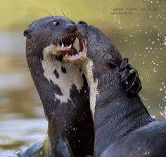 Cheek to Cheek… by Alex Kirichko on 500px  Young Giant River Otters. Pantanal, Brazil.