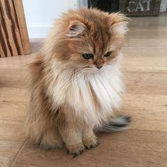 ❤️ What a little beauty! Cute Cats, Kittens Cutest Baby, Little Kittens, I Love Cats, Crazy Cats, Cats And Kittens, Funny Cats, Fluffy Cat, Fluffy Kittens