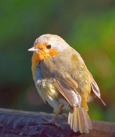 Robin-Erithacus rubecula