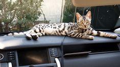 Bengal, Cats, Silver, Animals, Flare, Gatos, Animales, Animaux, Animal
