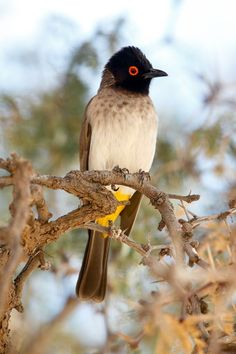 African Red-eyed Bulbul or Black-fronted Bulbul (Pycnonotus nigricans) is a species of songbird in the Pycnonotidae family. It is found in Africa. Its natural habitats are dry savanna and subtropical or tropical dry shrubland. Exotic Birds, Colorful Birds, South African Birds, Beautiful Birds, Love Birds, Tier Fotos, Flora, African Animals, Bird Species
