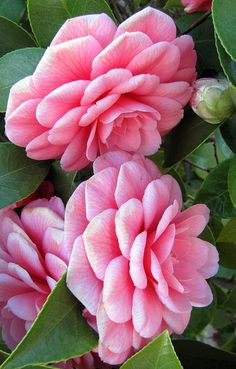 Camellias....gorgeous!!! Bebe'!!! What a pretty shade of pink!!!
