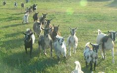 These are Nigirian Dwarf goats. Roughly 1/3 the size of a normal goat, their size makes them manageable for small farms.