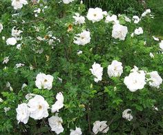 Rose - Blanc Double de Coubert - Hybrid Rugosa to break up the pinks of the knockout and bougainvillea, a nice fragrant white rose on the side of each far window, with the pink knockouts in between.