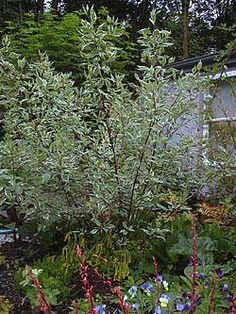 Varigated Dogwood shrub.  10'w x 10'h This plant has red bark that would be stunning in our cold white winters.