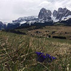 Traumhafte Momente auf der #Seiseralm mit #Enzian und Blick auf die #Dolomiten. Start ab St. Ulrich im schönen #Grödnertal