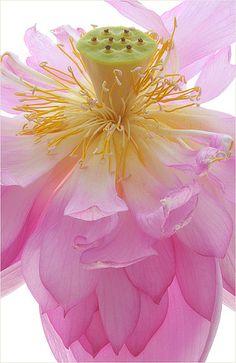 Lotus Flower por Bahman Farzad