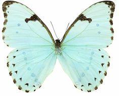 Papillon Butterfly, Art Papillon, Butterfly Pictures, Illustration Papillon, Butterfly Illustration, Botanical Illustration, Morpho Butterfly, White Butterfly, Butterfly Wings