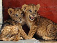 filhotes de animais selvagens