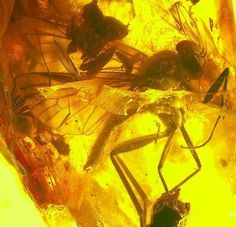 Rare inclusion - Rhagionidae in genuine Baltic amber for sale
