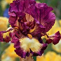 Choosing from hundreds, is Rodeo Girl Bearded Irises similar to yours?                                                                                                                                                                                 More