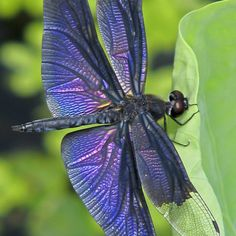 Iridescent dragonfly, purple.
