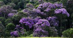 Manacá-da-serra é originária da Mata Atlântica e auxilia no reflorestamento