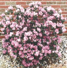 PJM Rhododendron~ Medium-growing, round broadleaf evergreen shrub that carries pink flowers in mid to late April.