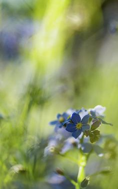 Blue Print featuring the photograph Forget Me Not Three by Mo Barton