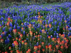 Field of Texas bluebonnets and Indian paint brushes.  I am ready for spring.