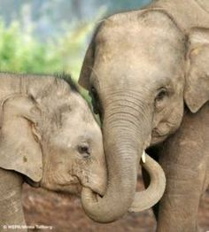 Elephants are very social, frequently touching and caressing one another and entwining their trunks.