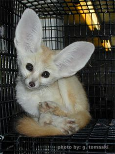 Fennec Fox- This looks like my Loco butt! Except Loco's ears aren't quite this big ;)
