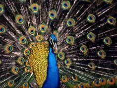 Like more of the bronze.  The peacock uses its brilliant plumage to entice females.(don't they all!?) { image via National Geographic photo by Medford Taylor }    Photograph by Medford Taylor