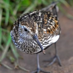 Male Dunlin, a British bird.