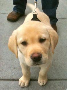 Lab puppy smells something good! #LabradorRetriever