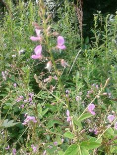 Not sure Everlasting Pea or Biennial Guara or Bouncong Bet Assipink Aug 2014